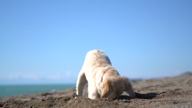 vídeos de stock e filmes b-roll de happy puppy dog digging in sand - searching