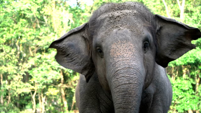 vídeos de stock e filmes b-roll de 4k happy thai elephant swaying and eating. - animal body part