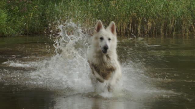 Happy white sheperd dog chasing ball