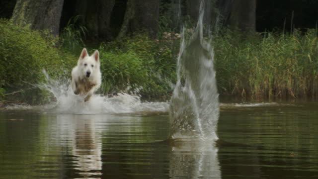 vídeos y material grabado en eventos de stock de perro pastor blanco feliz persiguiendo la bola - gota de agua salpicando