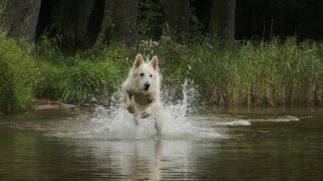 happy white sheperd dog chasing ball - shepherd stock videos & royalty-free footage