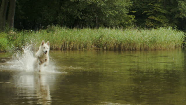 happy white sheperd dog chasing ball - running water stock videos and b-roll footage