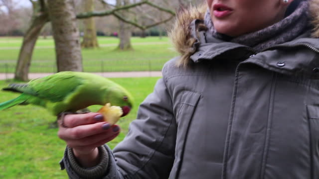happy woman feeding green parrots in the hyde park of london during travel vacations. - hyde park london stock videos & royalty-free footage