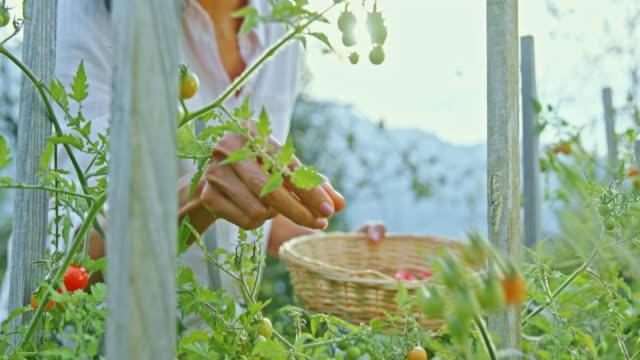 vidéos et rushes de slo mo femme heureuse ramassant des tomates cerises dans le jardin - récolter