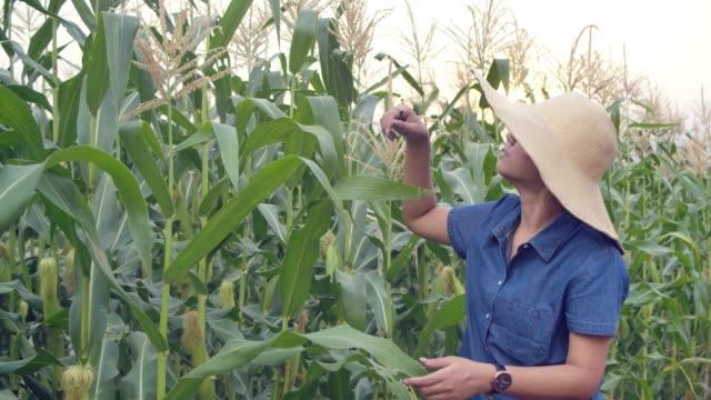 vídeos y material grabado en eventos de stock de mujer feliz caminando examinando el campo de cultivo durante el día en la puesta del sol hermoso cielo en tailandia - oficio agrícola