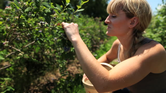 CU Happy young lady picking blueberries / Milton, Ontario, Canada