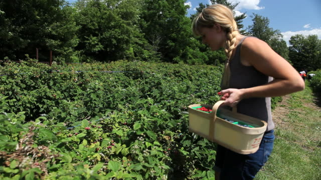 ms happy young woman picking raspberries and placing them in wooden basket / milton, ontario, canada - raspberry stock videos & royalty-free footage