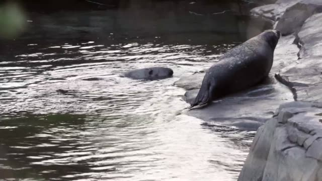 ls a harbor seal and a grey seal are seen in their habitat at the national zoo washington dc february 21 2014 - harbour seal stock videos & royalty-free footage