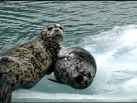 harbor seal (phoca vitulina) mom on ice; pup yawns_mcu. - seals stock videos and b-roll footage