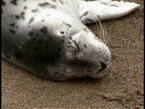 harbor seal pup - harbour seal stock videos & royalty-free footage