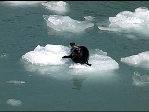 harbor seal slides off ice into water. - flightless bird stock videos & royalty-free footage