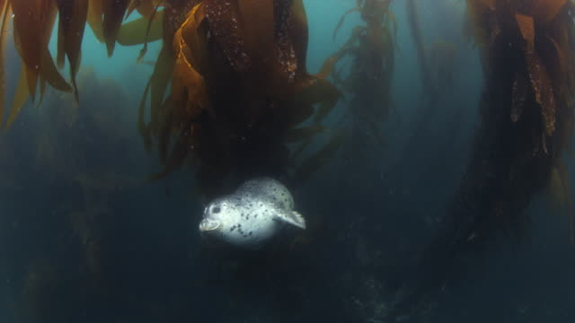 A Harbor Seal swims and play inside a kelp forest - Slow Motion