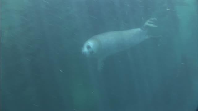 a harbor seal swims past tall stalks of kelp. - アザラシ点の映像素材/bロール
