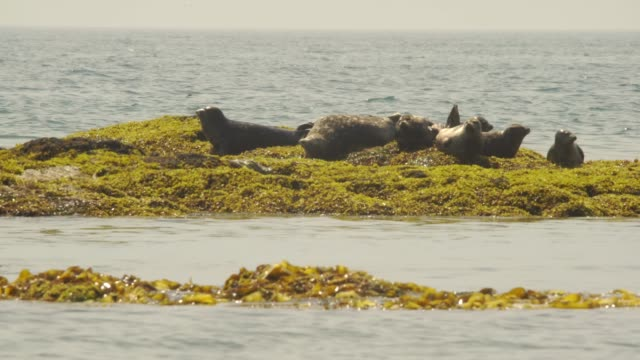 harbor seal (kuril islands) - harbour seal stock videos & royalty-free footage