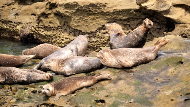 harbor seal - harbour seal stock videos & royalty-free footage