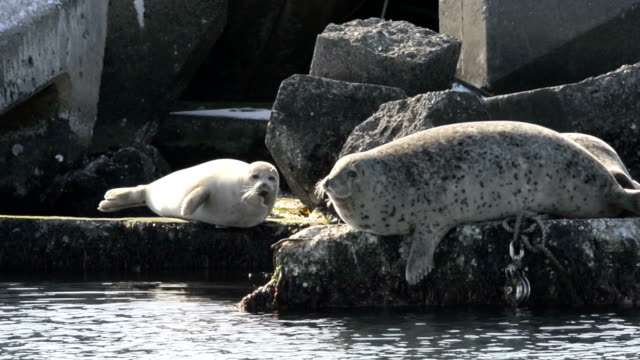 vídeos de stock, filmes e b-roll de harbor seals are spending the reminder of the winter in northern hokkaido coasts before they head back north to russian seas at the coming of spring... - cabeça para trás