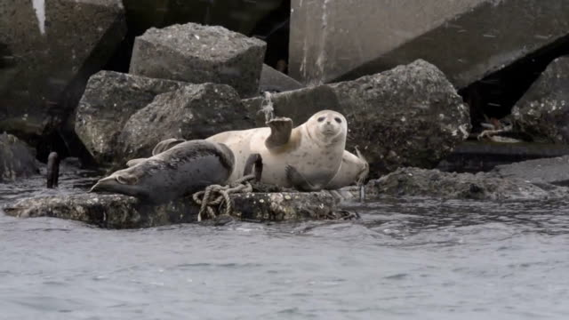 harbor seals are spending the reminder of the winter in northern hokkaido coasts before they head back north to russian seas at the coming of spring... - reminder stock videos and b-roll footage