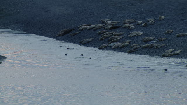 harbor seals at china poot bay alaska - seals stock videos and b-roll footage