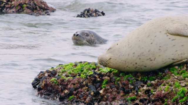 harbor seals on rocks near the dmz (demilitarized zone between south and north korea), goseong-gun - harbour seal stock videos & royalty-free footage