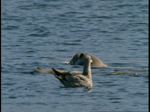 harbor seals swim near floating seagulls in telegraph cove. - harbour seal stock videos & royalty-free footage
