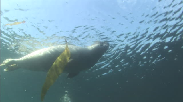 harbor seals swim past stalks of kelp and play at the surface of the water. - アザラシ点の映像素材/bロール