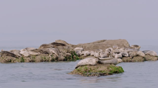 harbor seals taking a nap near the dmz (demilitarized zone between south and north korea), goseong-gun - seal animal stock videos & royalty-free footage