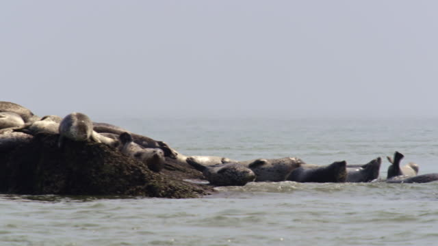 harbor seals taking a nap near the dmz (demilitarized zone between south and north korea), goseong-gun - harbour seal stock videos & royalty-free footage
