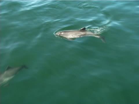harbour porpoise milling around just under surface close to boat. st lawrence, canada. - nordatlanten bildbanksvideor och videomaterial från bakom kulisserna