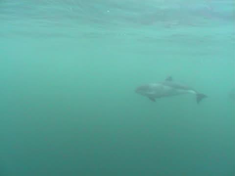 harbour porpoise pod - ネズミイルカ点の映像素材/bロール