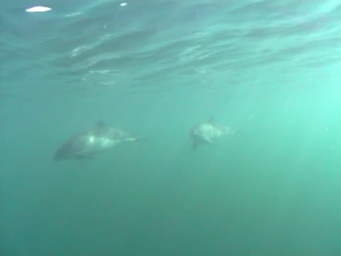 harbour porpoise pod - cetacea stock videos & royalty-free footage