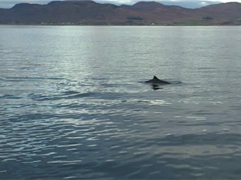 vídeos y material grabado en eventos de stock de harbour porpoise surfacing to breath - salir del agua