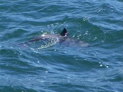 harbour porpoise surfacing to breath - surfacing stock videos & royalty-free footage