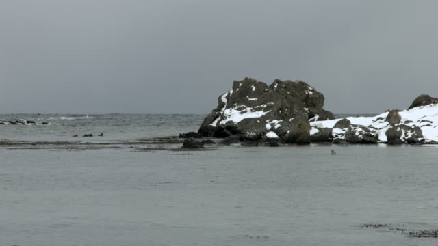 a harbour seal and ducks swim off the coast of northern iceland. - harbour seal stock videos & royalty-free footage