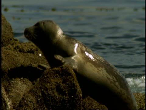 a harbour seal climbs up some rocks to a small pool. - harbour seal stock videos & royalty-free footage