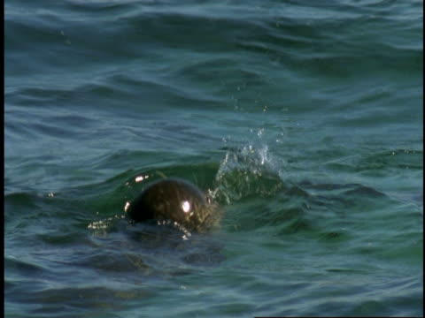 a harbour seal dives beneath the surface of monterey bay. - harbour seal stock videos & royalty-free footage