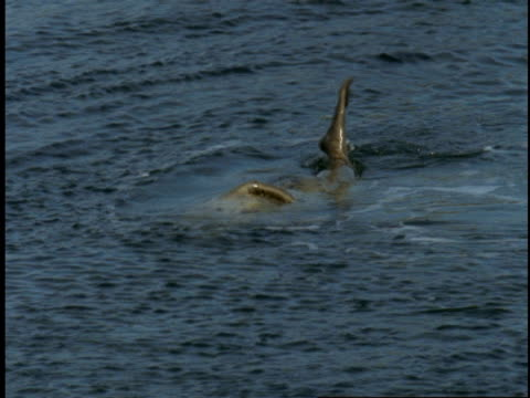 a harbour seal flips over as it plays in the water. - harbour seal stock videos & royalty-free footage