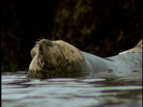 a harbour seal floats in the ebbing tide. - harbour seal stock videos & royalty-free footage