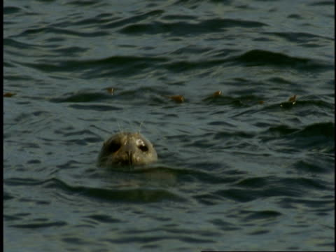 a harbour seal floats on the surface of monterey bay. - harbour seal stock videos & royalty-free footage