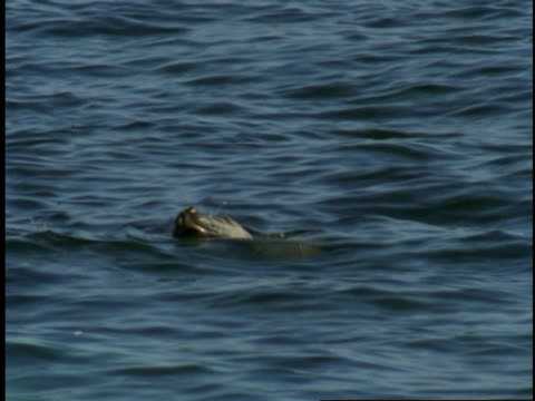 a harbour seal pokes its head above the surface of monterey bay before twisting underwater. - harbour seal stock videos & royalty-free footage