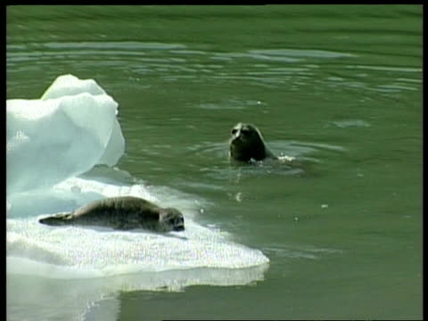 ms harbour seal pup on ice floe, adult seal in water, pup slides into water, arctic circle - seal pup stock videos and b-roll footage