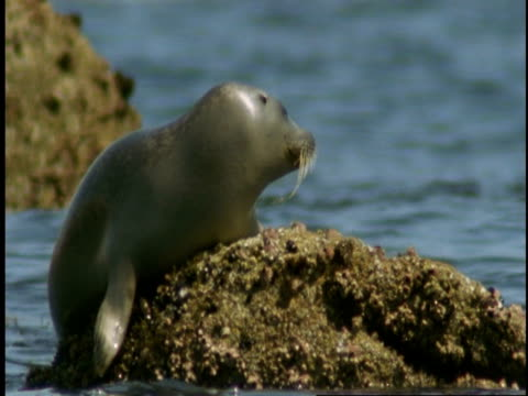 a harbour seal pup sits on a barnacle-covered rock in monterey bay. - harbour seal stock videos & royalty-free footage