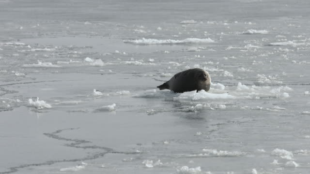 A harbour seal rests on an ice sheet.