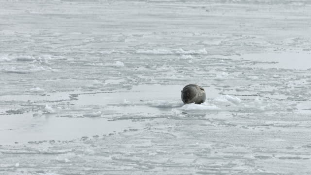 a harbour seal rests on an ice sheet.  - harbour seal stock videos & royalty-free footage