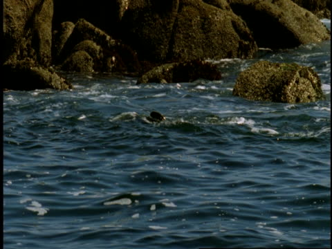 a harbour seal rolls and spins in the tides of monterey bay. - harbour seal stock videos & royalty-free footage