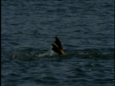 a harbour seal rolls and spins underwater in monterey bay. - harbour seal stock videos & royalty-free footage