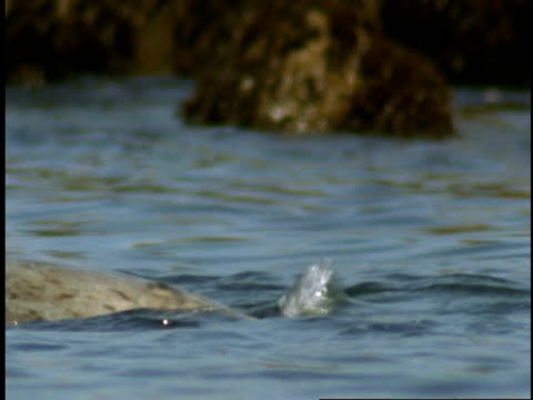 a harbour seal spins in the water near the shore of monterey bay. - harbour seal stock videos & royalty-free footage