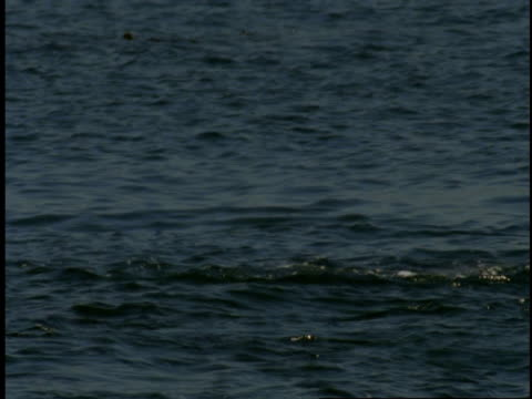 a harbour seal splashes and spins in monterey bay. - harbour seal stock videos & royalty-free footage