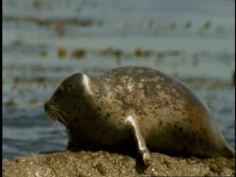 a harbour seal splashes water with its tail as it rests on a rock in monterey bay. - harbour seal stock videos & royalty-free footage