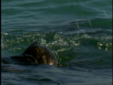 a harbour seal splashing and twists in the water of monterey bay. - harbour seal stock videos & royalty-free footage