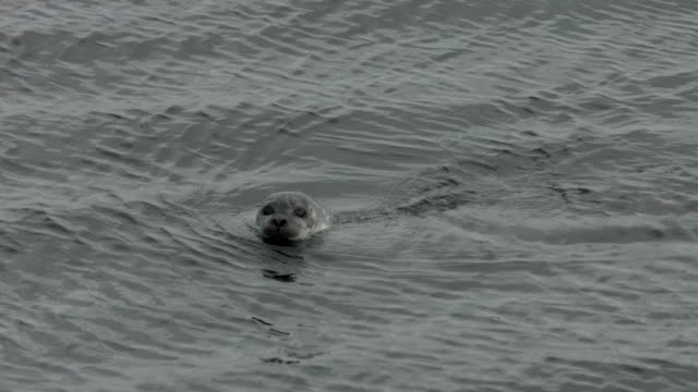 a harbour seal stares at the camera before submerging and swimming off.  - harbour seal stock videos & royalty-free footage